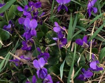 Violet Seeds, Viola Odorata Heirloom