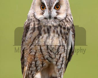 "Mounted Photographic Display Print - Long Eared Owl #5 (A4 print in 14"" x 11"" Mount, Unframed)"