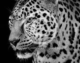African Leopard Black and White Stock Photo