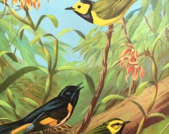 Warbler Bird Print ~Vintage Children's Book Print, Illustration, Book Plate ~Nursery decor ~ Walter A. Weber ~ Traveling with Birds 1933