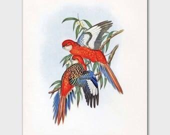 Parakeet Art, Tropical Bird Print (Orange Wall Decor Printable, Vintage Budgie Birds Print) --- 19th Century John Gould Artwork