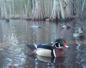 Wood Ducks, Set of 4 Color Photos - Choose size and style