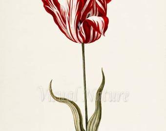 Tulip Flower Art Print, Botanical Art Print, Flower Wall Art, Flower Print, Floral Print, Tulip Art, red, white, Tulipa culta