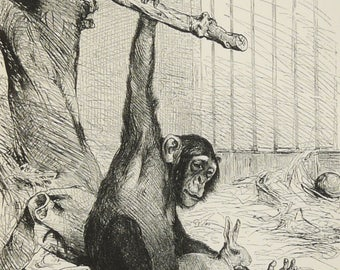 1890 Antique print of CHIMPANZEE MONKEY. Chimp. Primates. Monkeys. Natural History. Zoology. 128 years old engraving