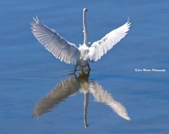 A Great Egret Star