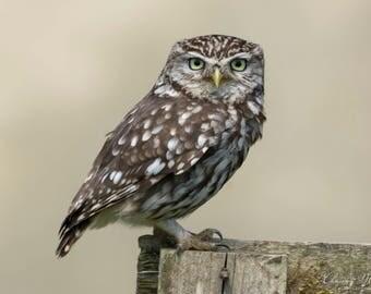 Little Owl Image Download