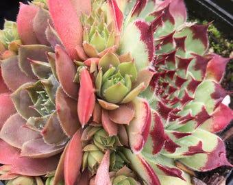 Sempervivum/succulent garden/succulent arrangement/succulent wedding/live plants