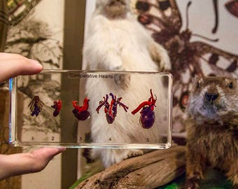 Comparitive Hearts 5 real hearts in resin (carp, frog, snake, pigeon and rabbit)