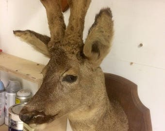 Taxidermy roe deer mounted