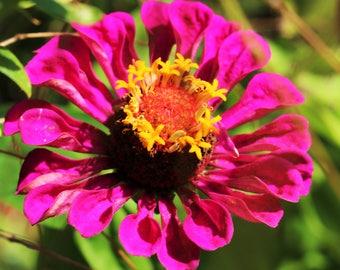 Pink Flower Photo, Purple Flower Photo, Floral Art Print, Zinnia Wall Art, Large Art Print, Feminine Wall Art, Botanical Art, FREE SHIPPING
