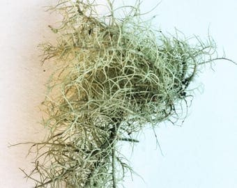 Usnea - 1 ounce - Fresh & Wildcrafted