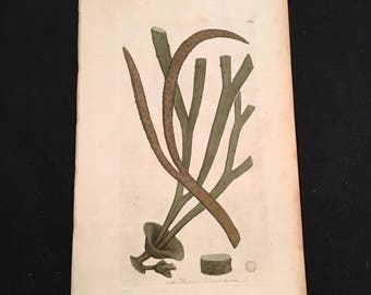 Antique Botanical Print: Thong Seaweed, Original 1799 Hand-Colored Engraving, Print for Framing