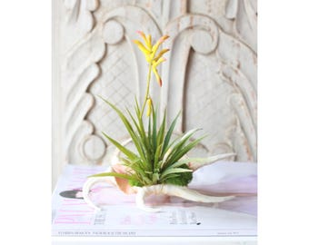 flowering air plant in seashell
