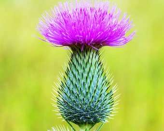 Organic Milk Thistle Oil Cold Pressed Unrefined Undiluted Milk Thistle Seed Oil Carrier Oil Liver Tonic,  Anti-aging Facial Oil & Body Oil