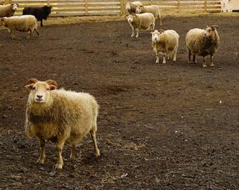 "Fine Art Iceland Landscape Photography Wall Decor 4""x6"" prints | Iceland Sheep"