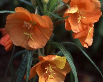 Evening Primrose Collection Seeds /Sunset Boulevard, Apricot Delight, Glowing Magenta and Wedding Bells/ Buy Individually or in a Collection