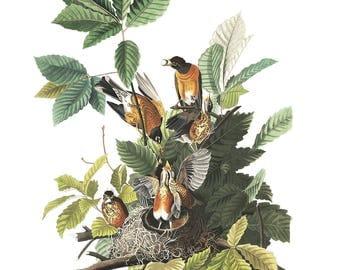 Vintage Robin Print - American Robin - bird illustration - James Audubon print