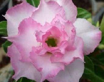 Adenium plant Plum Blossom Desert Rose rare flowering size succulent plant