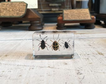 3 leaf beetles in lucite block, paperweight, taxidermy