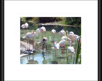 Pink Flamingo, Photography, Free Shipping, Print, Framed Print, Canvas Wrap, Canvas with Floating Framed, Wall Art, Home Decor, Nature Pic