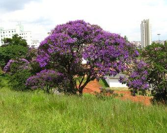 200  Tibouchina granulosa Seeds, Glory tree, Purple Spray Tree