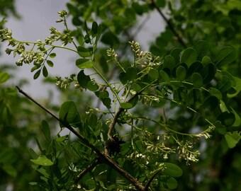 25 Dalbergia melanoxylon Seeds , African Blackwood Seeds