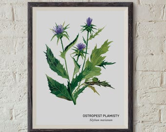 Ostropest plamisty, Milk thistle (Silybum marianum) - illustration - print