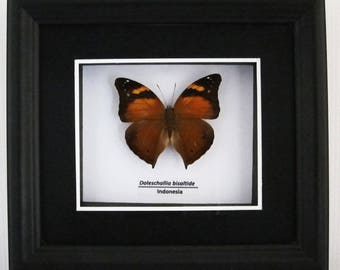 Doleschallia bisaltide (Autumn Leaf) - Taxidermy Butterfly Mounted in Poly Shadow Box Frame Matted - Wall Decoration