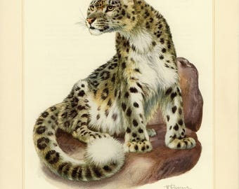Vintage lithograph of the snow leopard from 1956