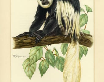Vintage lithograph of the mantled guereza from 1956
