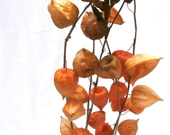 Dried Chinese Lantern Bouquet/Physalis Lampion Bunch/Flower bunch/Dried Flowers/Dried floral arrangement/natural dried plant/Floral bouquet