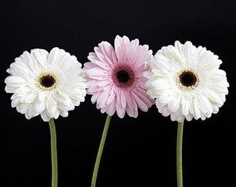 Daisy Photography, Daisy Wall Art, Picture Of Daisies, Gerbera Daisy Print, Bunch Daisies Picture, Colorful Flower Print,Pink Home Wall Art