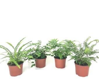 "Fern Variety Pack (Lemon Button, Korean Rock, Button, Japanese Holly)  (4 Plants) (4"" Pots)"