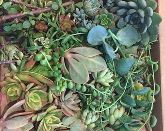 100 succulent cuttings perfect for wedding gifts, table toppers and centerpieces. Also perfect for any and all succulent crafts.