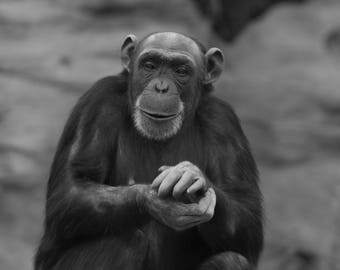 Black And White Portrait Of An Adult Chimp