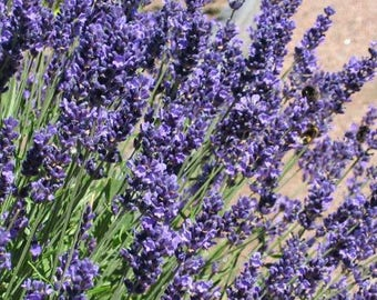 English Lavender Seeds 200 Organic NonGMO Hand Picked Bio Season 2017 Fresh New From Switzerland Flower Perennial Own Production Flowers