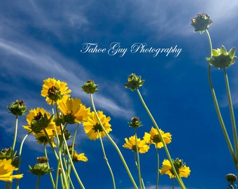 Photograph: Yellow Flowers and Cloudy Sky (5000 x 3300)