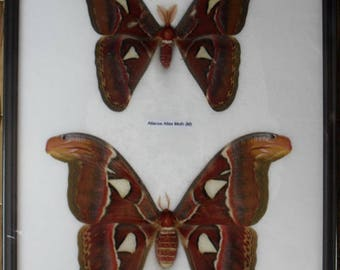 Real Attacus Atlas Moths(M & F) Butterfly Insect Taxidermy in frame /BTF19