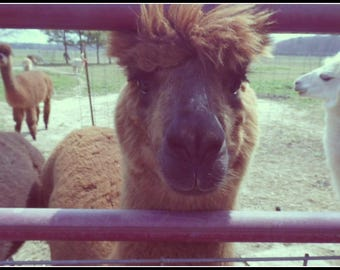 Well Hello (Alpaca Photo)