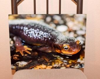 California Newt photo on acrylic