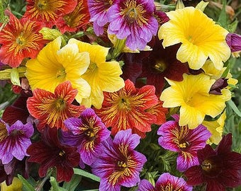 Painted Tongue, Scalloped Tube Tongue, or Velvet Trumpet, Salpiglossis sinuata Mixed 50 Seeds