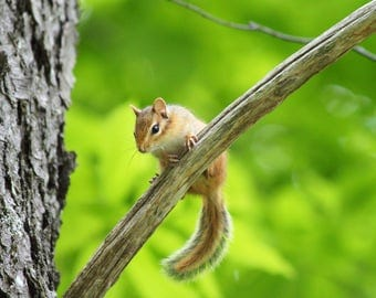 """Instant Digital Download Color Nature Photography """"Whimsical Chipmunk"""" Printable"""