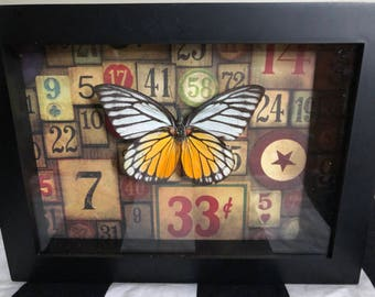 Real butterfly taxidermy