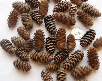 50 Small Pine Cones, Hemlock,  Primitive Craft, Rustic Decor (PC 2)