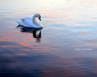 Swan of Kensignton Palace, England Photograph