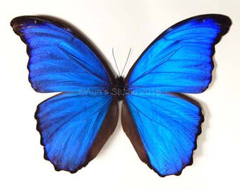 Real Butterfly Specimen, Natural butterfly, Unframed authentic butterfly, Blue morpho butterfly