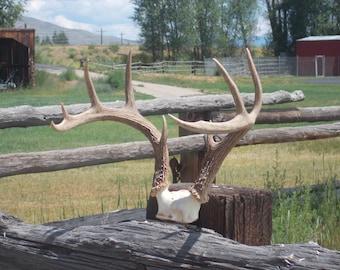 Antler rack (deer)