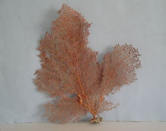 "12"" x 12.8"" Pacifigorgia Red  Sea Fan Seashells Reef Coral"