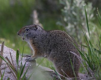 "Nature Photography, ""Yellowstone Ground Squirrel"", Yellowstone National Park, Travel Photo, Customizable Sizes Upon Request"