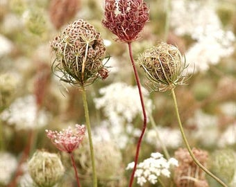 ON SALE Queen Anne's Lace Flower Print  Fine Art Photography, Wildflower, A Summer Farewell